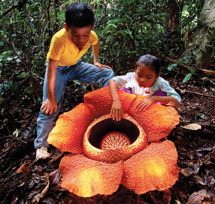 Раффлезия Арнольда - крупнейший цветок в мире