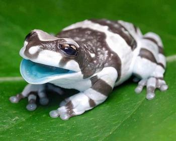 Лягушки «Amazon Milk»
