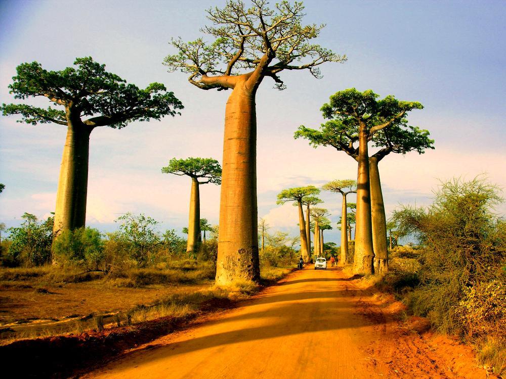 Величественное дерево Баобаб