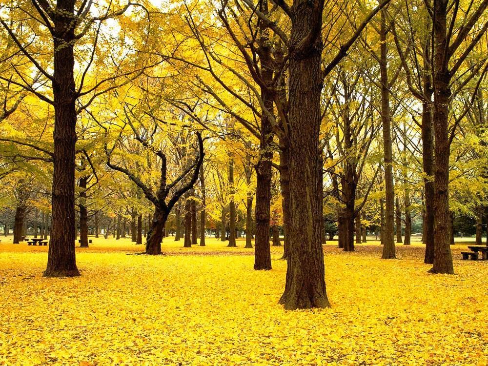 Золотой лес Японии
