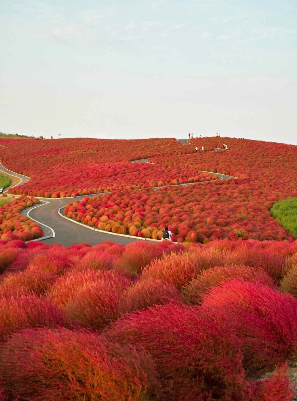Национальный приморский парк Хитачи «Hitachi Seaside Park»