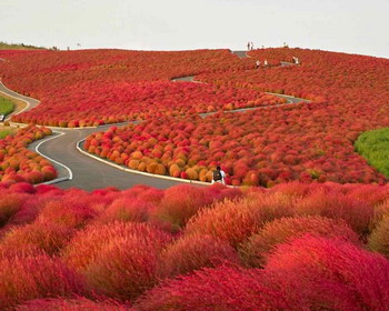 ������������ ���������� ���� ������ �Hitachi Seaside Park�