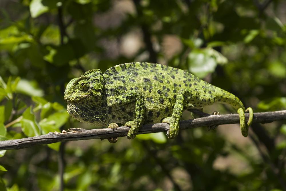 Хамелеоны (лат. Chamaeleonidae)