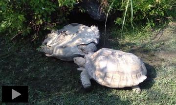 Даже Черепахи помогают друг другу, попав в беду!
